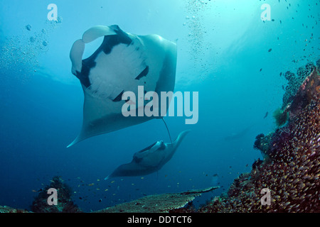 Manta ray overhead and another one approaching. - Stock Photo