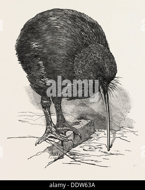 APTERYX IN THE GARDENS OF THE ZOOLOGICAL SOCIETY, REGENT'S PARK, LONDON, UK - Stock Photo
