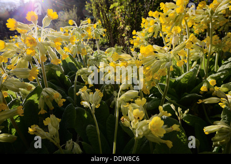 Primla veris, Cowslip flowers, Wales. UK. - Stock Photo