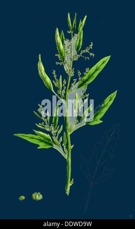 Chenopodium ficifolium; Fig-leaved Goosefoot - Stock Photo