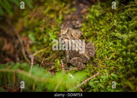 a spotted frog sitting on mossy ground - Stock Photo