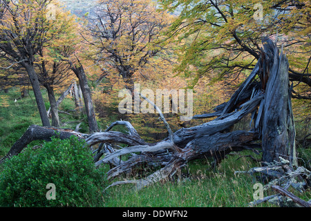 Dead tree trunks and beech trees in full autumn colours, forest near Lago Grey, Torres del Paine, Southern Chile, - Stock Photo
