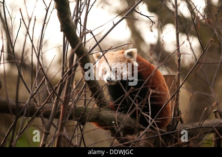 The red panda (Ailurus fulgens), also called lesser panda and red cat-bear, is a small arboreal mammal. - Stock Photo