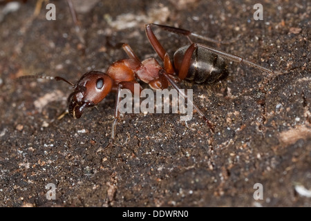 blood-red ant, slave-making ant, wood ant, Blutrote Raubameise, Blutrote Waldameise, Formica sanguinea, Raptiformica - Stock Photo