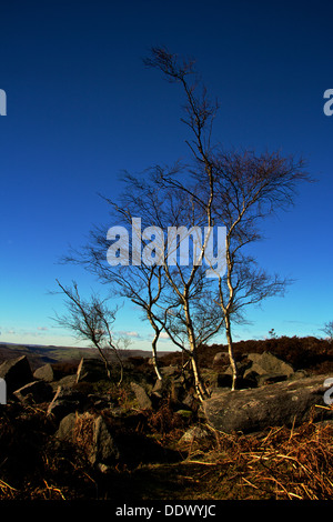 Wind twisted Silver Birch trees on a frosty clear morning in the Peak District - Stock Photo