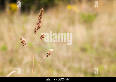 Brown seed grass in a field - Stock Photo