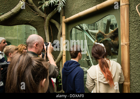 People watching and photographing an orangutan in its enclosure at Chester Zoo - Stock Photo
