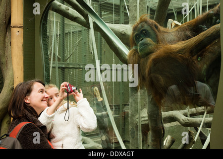 Woman and child watching and photographing an orangutan in its enclosure at Chester Zoo - Stock Photo