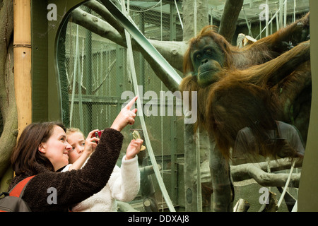 Woman and child watching and photographing an orangutan at Chester Zoo - Stock Photo