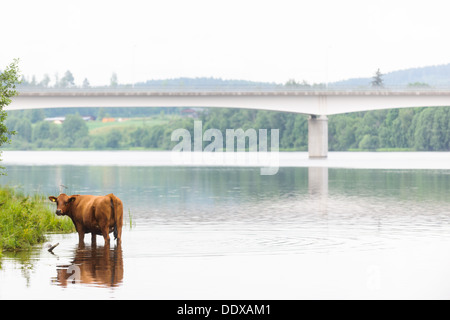 Cow standing in river, Dalälven, Dalarna, Sweden - Stock Photo
