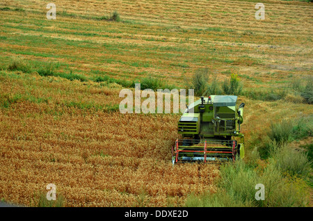 Harvesting combine cropping cereal field in aoutumn sun - Stock Photo