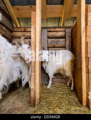 Goats in barn, Arvselen, Dalarna, Malung-Sälen kommun, Sweden - Stock Photo