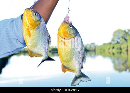 Brazil, Pantanal: Fisching Piranhas - Stock Photo