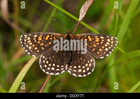 False Heath Fritillary (Melitaea diamina) - Stock Photo