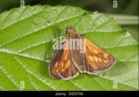 Silver-spotted Skipper (Hesperia comma) - Stock Photo