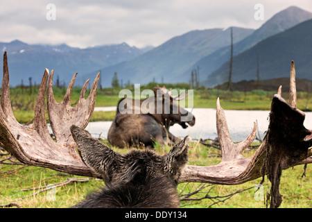 Moose (Alces alces) - Stock Photo