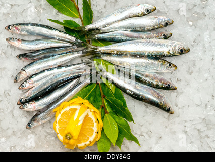 Fresh Sardines and Anchovies on ice. - Stock Photo