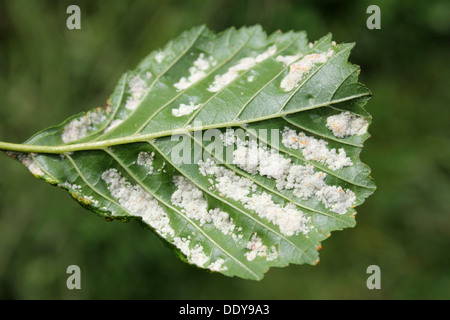 Galls on Alder Alnus glutinosa leaves caused by the Gall Mite Acalitus brevitarsus a.k.a. Eriophyes brevitarsus - Stock Photo