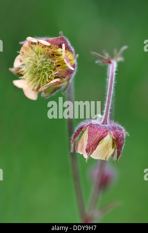 Water Avens Geum rivale - Stock Photo