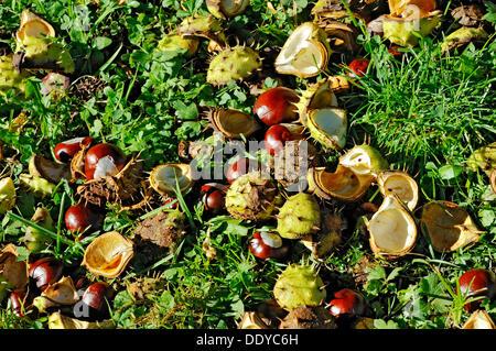 Chestnuts, Horse-chestnut (Aesculus hippocastanum), Bavaria - Stock Photo