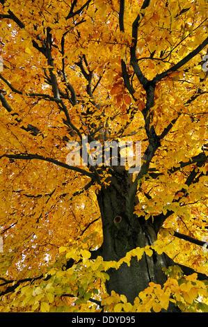 Beech tree (Fagus) in autumn colours, Munich, Bavaria - Stock Photo