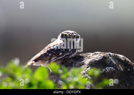 Little Owl (Athene noctua) sitting on a rock, observing, back light, Extremadura, Spain, Europe - Stock Photo