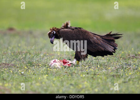 Eurasian Black Vulture (Aegypius monachus) feeding from carcass, dead lamb, Extremadura, Spain, Europe - Stock Photo