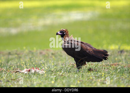 Eurasian Black Vulture (Aegypius monachus) next to carcass, dead lamb, Extremadura, Spain, Europe - Stock Photo