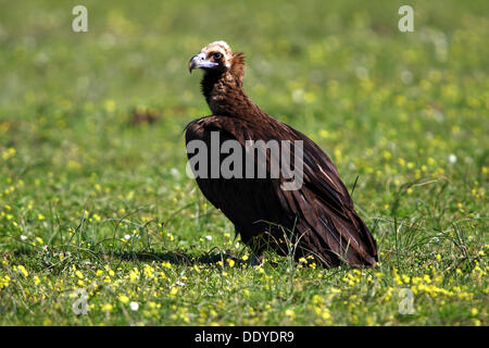 Eurasian Black Vulture (Aegypius monachus) sitting on meadow, Extremadura, Spain, Europe - Stock Photo