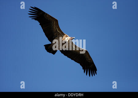 Griffon vulture (Gyps fulvus) flying, Monfraguee National Park, Spain, Europe - Stock Photo