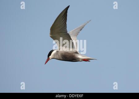 Whiskered Tern (Chlidonias hybrida) in flight - Stock Photo