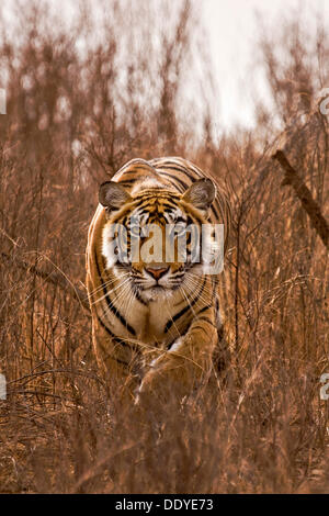 Alert tiger (Panthera tigris) stalking on in the dry grasses of the dry deciduous forest of Ranthambore Tiger Reserve, - Stock Photo