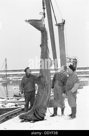 Unusual catch from the Öresund; a basking shark, Landskrona, Sweden, 1965. Artist: Unknown - Stock Photo