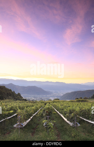 Sunrise sky over vineyard, Yamanashi Prefecture - Stock Photo