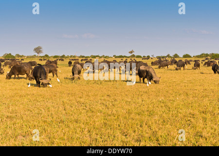 Herd of African buffalos (Syncerus caffer) in the Okavango Delta, Botswana, Africa - Stock Photo