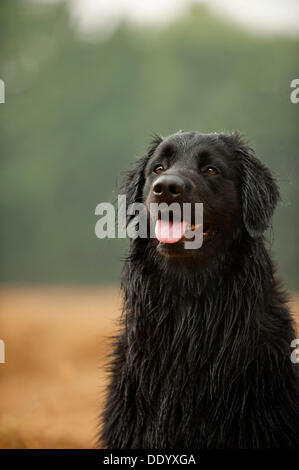Portrait, black Hovawart - Stock Photo