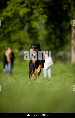 Doberman running across a meadow - Stock Photo