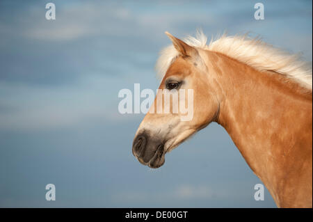 Haflinger horse, portrait, Sankt Peter-Ording, Schleswig-Holstein - Stock Photo