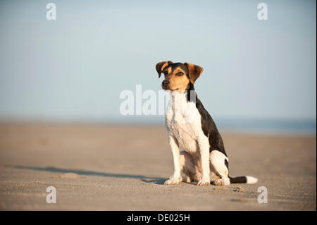 Sitting Dansk-Svensk Gardshund or Danish-Swedish Farmdog - Stock Photo
