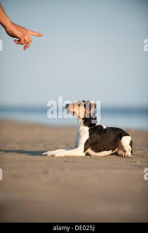 Dansk-Svensk Gardshund or Danish–Swedish Farmdog lying on command - Stock Photo