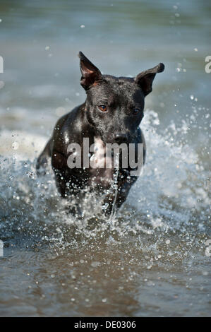 Old English Staffordshire Bull Terrier, dog running through the water - Stock Photo