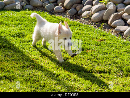 Platinum colored Golden Retriever puppy (11 weeks) running happily on backyard green grass - Stock Photo