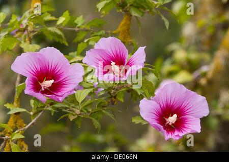 Blooming Rose of Sharon or Shrub Althea (Hibiscus syriacus althea), Majorca, Balearic Islands, Spain, Europe - Stock Photo
