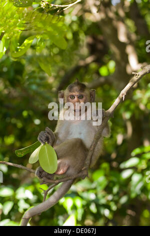 Rhesus macaque or monkey (Macaca mulatta) - Stock Photo