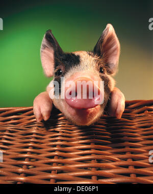 Piglet, black and white, in a basket - Stock Photo