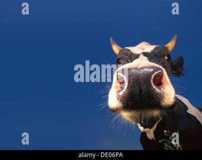 Cow, black and white, portrait - Stock Photo