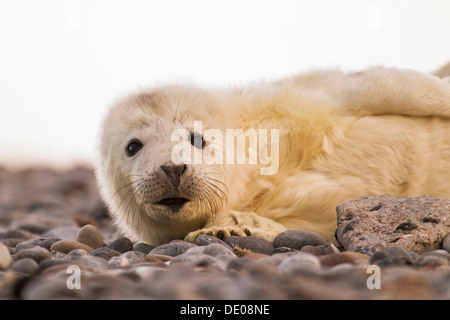 Grey Seal (Halichoerus grypus), pup - Stock Photo
