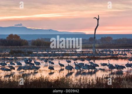 Sandhill Cranes (Grus canadensis) at sunrise, dawn, Bosque del Apache Wildlife Refuge, New Mexico, North America, USA
