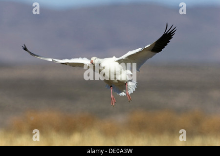 Snow Goose (Anser caerulescens atlanticus, Chen caerulescens) during landing, Bosque del Apache Wildlife Refuge, - Stock Photo