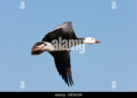 Snow Goose (Anser caerulescens atlanticus, Chen caerulescens) in flight, blue morph, Bosque del Apache Wildlife - Stock Photo